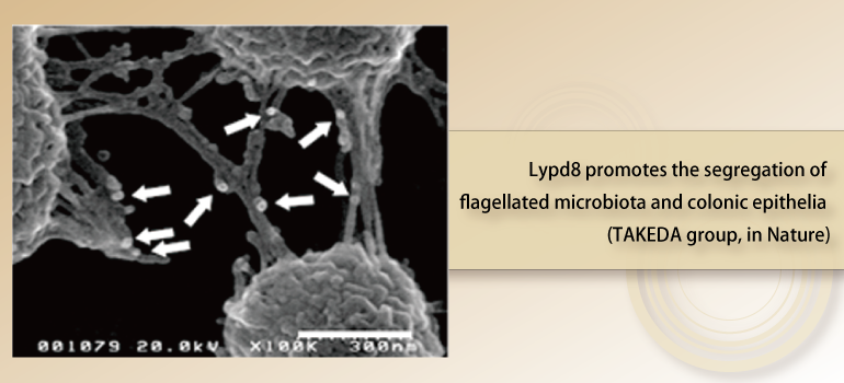 Lypd8 promotes the segregation of flagellated microbiota and colonic epithelia (TAKEDA group, in Nature)