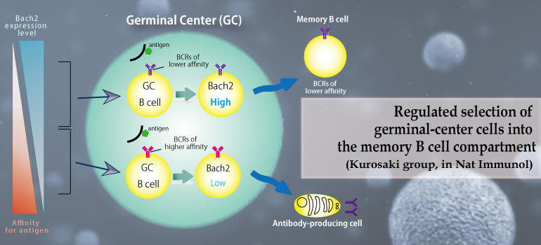 Regulated selection of germinal-center cells into the memory B cell compartment