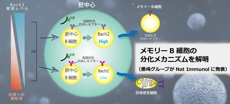 メモリーB細胞の分化誘導メカニズムを解明(黒崎グループがNat Immunolに発表)