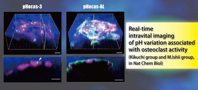 Real-time intravital imaging of pH variation associated with osteoclast activity