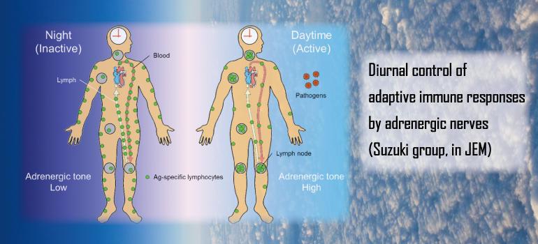 Diurnal control of adaptive immune responses by adrenergic nerves (Suzuki group, in JEM)