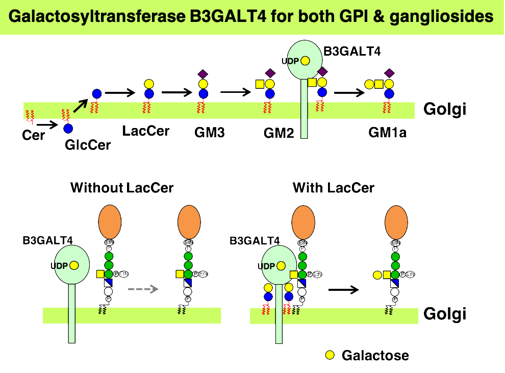 Galactosyltransferase B2GALT4 for both GPI & gangliosides