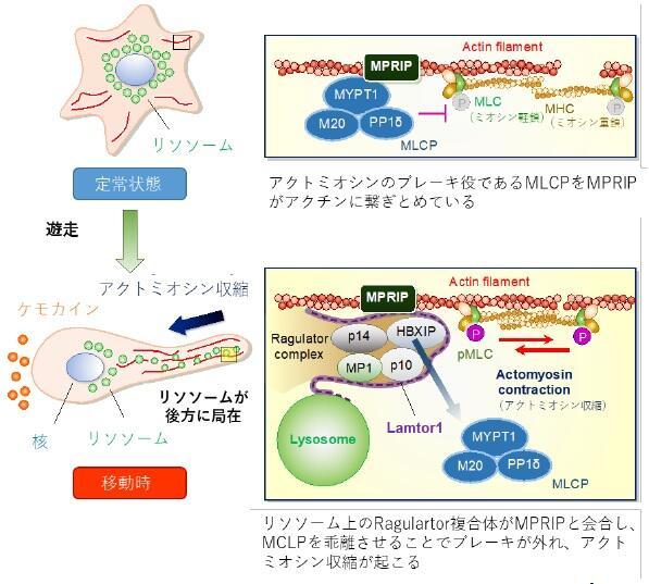 Ragulator複合体によるアクトミオシン運動制御機序