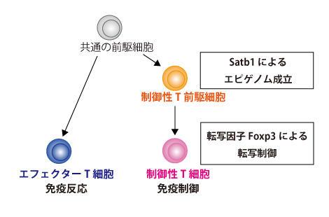 T 制御 細胞 性