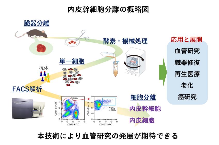 内皮幹細胞分離の概略図