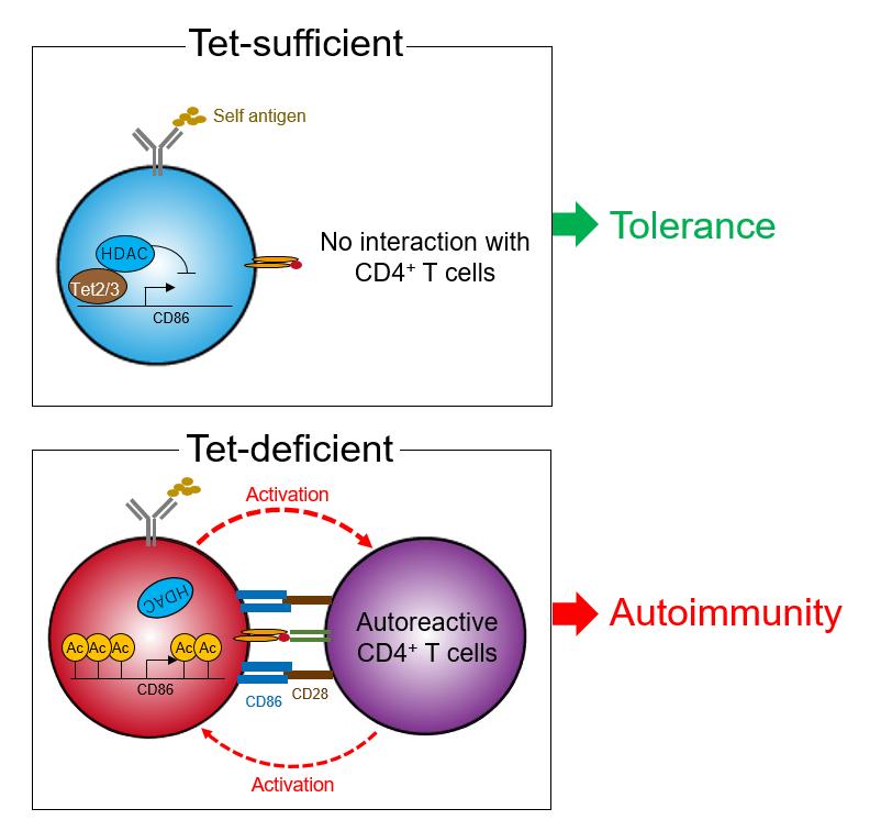 Tet分子による自己寛容制御