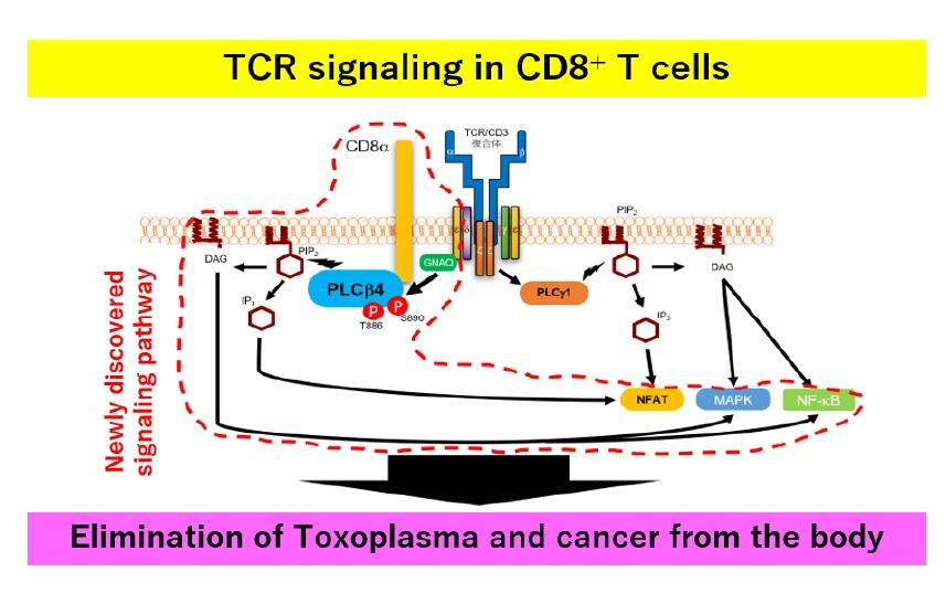 toxoplasma, cancer immunity, CTLC, PLCβ4