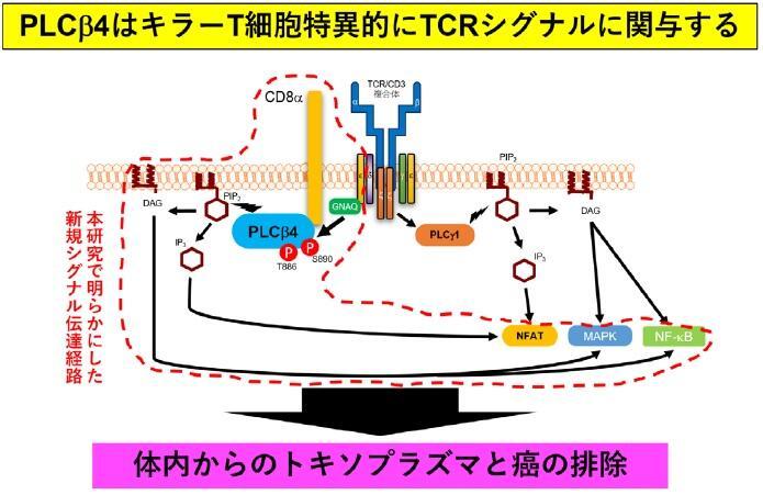 トキソプラズマ、ガン免疫、キラーT 細胞、PLCβ4